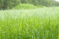Зеленое зерно Стоковые Фотографии RF