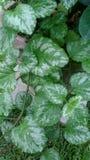 Зеленое и белое Deadnettles стоковое фото