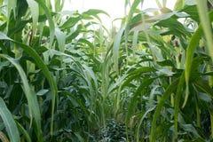 Зеленое кукурузное поле в Таиланде, земледелие мозоли green nature Rur Стоковая Фотография