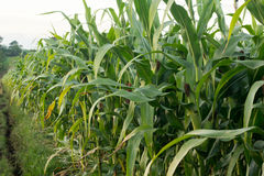 Зеленое кукурузное поле в Таиланде, земледелие мозоли green nature Rur Стоковые Изображения