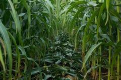 Зеленое кукурузное поле в Таиланде, земледелие мозоли green nature Rur Стоковые Фото