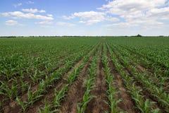 Зеленое кукурузное поле, голубое небо и солнце на летний день Стоковая Фотография