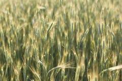 Зеленое кукурузное поле, света лета стоковая фотография