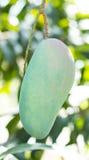 Зеленое манго на дереве Стоковое Изображение RF
