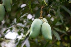 зеленое манго на манго плодоовощ дерева манго Стоковые Фото