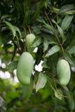 зеленое манго на манго плодоовощ дерева манго Стоковое Фото