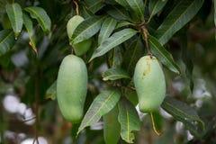 зеленое манго на манго плодоовощ дерева манго Стоковая Фотография