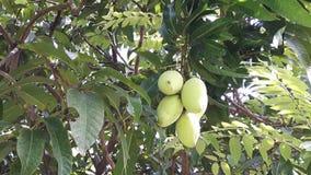 Зеленое манго (плодоовощ) на дереве Стоковое Фото