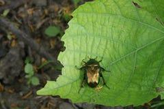Зеленое насекомое черепашки на зеленых лист Стоковая Фотография