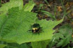 Зеленое насекомое черепашки на зеленых лист Стоковые Фото