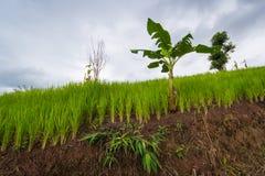Зеленое поле бананового дерева риса и стоковая фотография