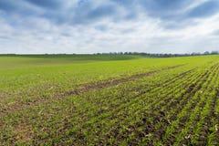 Зеленое поле, всходы земледелия молодые пшеницы, ячменя Стоковое Фото
