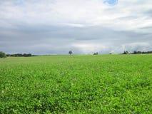 Зеленое поле гвоздичного дерева Стоковое Фото