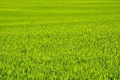 Зеленое поле зерна в последней весне на солнечный день Стоковые Изображения RF