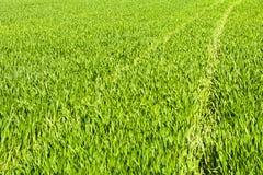 Зеленое поле зерна в последней весне на солнечный день Стоковая Фотография RF