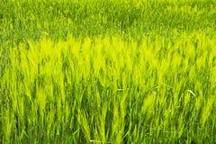 Зеленое поле зерна в последней весне на солнечный день Стоковые Изображения