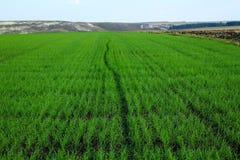 Зеленое поле зерна зимы продолжая к небу горизонта голубому Стоковое Изображение