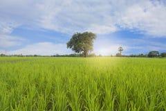 Зеленое поле и белое небо облака и голубых Стоковое Изображение RF