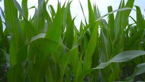 Зеленое поле мозоли Листья мозоли на поле Крупный план кукурузного поля видеоматериал