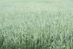 Зеленое поле пшеницы Стоковая Фотография RF