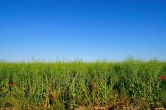 Зеленое поле рапса стоковое изображение