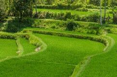 зеленое поле риса в Бали Стоковые Фотографии RF