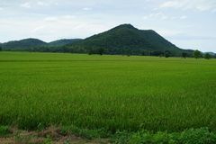 Зеленое поле риса в северном Таиланде стоковые фотографии rf