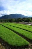 Зеленое поле риса в сельской местности, Чиангмае, Таиланде Стоковое Фото