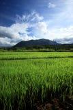 Зеленое поле риса в сельской местности, Чиангмае, Таиланде Стоковое фото RF