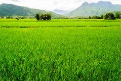 Зеленое поле риса в Petchaboon, Таиланде Стоковое Изображение RF