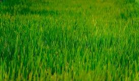 Зеленое поле риса в SE Азии стоковые изображения rf