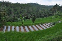 Зеленое поле риса и леса Стоковая Фотография