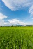 Зеленое поле риса и небо ясности голубое на предпосылке Стоковая Фотография RF