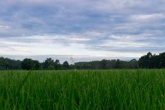 Зеленое поле риса при зеленая роса утра ждать быть сжатым Стоковая Фотография RF