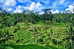 Поле риса на Бали Индонезии Стоковые Изображения RF