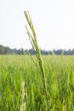Зеленое поле риса с текстурой предпосылки фермы земледелия зеленой травы от ТАИЛАНДА Стоковая Фотография