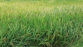 Зеленое поле риса, ферма риса Стоковое Изображение RF