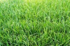 зеленое поле риса Стоковые Изображения RF