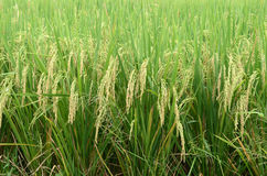 Зеленое поле риса Стоковое Изображение