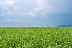 Зеленое поле сахарного тростника стоковая фотография