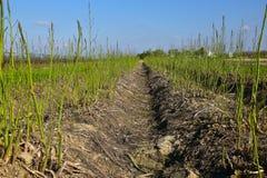 Зеленое поле спаржи Стоковое Изображение