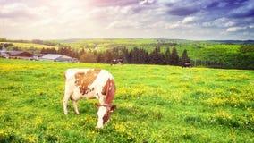 Зеленое поле с пасти коров на солнечный летний день 4K сток-видео