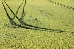 Зеленое поле текстуры урожая пшеницы Стоковые Фото