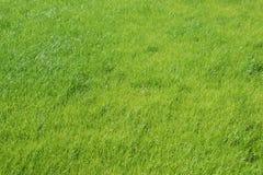 Зеленое поле травы развевая ветром Стоковое Фото