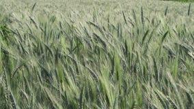 Зеленое поле ячменя слабо приласканное ветром, устоичивой съемкой, концепцией HD здоровья предпосылки природы сток-видео