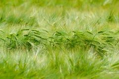 Зеленое поле ячменя Стоковые Изображения