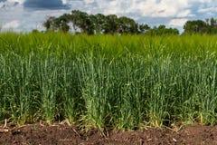Зеленое поле ячменя Стоковая Фотография