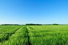 Зеленое поле ячменя стоковое фото rf