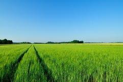 Зеленое поле ячменя Стоковая Фотография RF