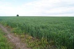 Зеленое пшеничное поле в лете Стоковое Изображение RF